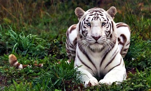 Up to 50% Off Tour at National Tiger Sanctuary  at National Tiger Sanctuary, plus 6.0% Cash Back from Ebates.