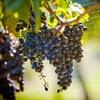55% Off Wine-Tasting Tour in Peconic