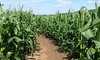 Stanhill Farm - Stanhill Farm: Maize Maze Entry For Two (£6) or Five (£12) at Stanhill Farm (Up to 54% Off)
