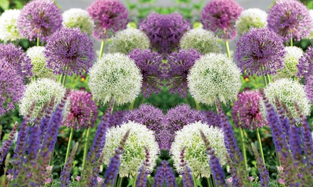 Allium Collection 100 or 200 bulbs from £9.99 With Free Delivery