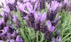 2 or 4 French Lavender Plants 2L