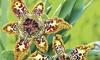 Pre-Order: Chocolate Starfish Flower Bulbs (3-Pack)