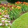 15 Hybridizer Daylilies