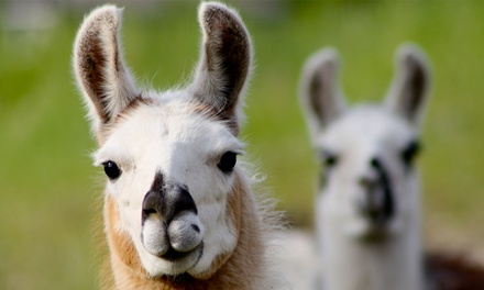 Alpaca Trek For Two or Four at Alpaca Annie