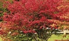 Pre-Order: One Bare Root of Red Burning Bush