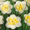 Pre-Order: Lion's Heart Daffodil Flower Bulbs (5-, 10-, or 20-Pack)