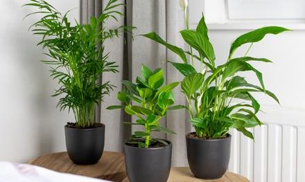 Set di 3 piante da interno da 20 a 45 cm