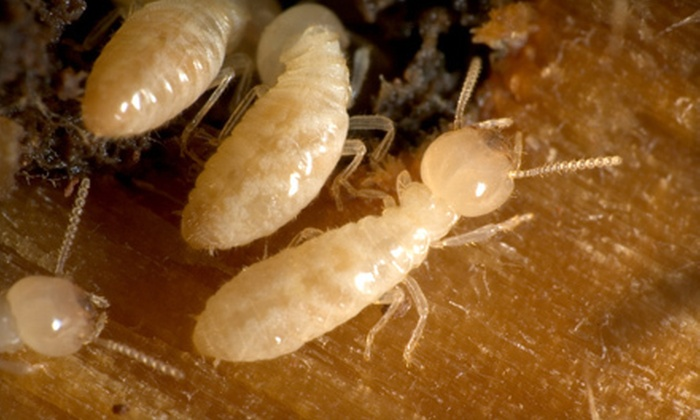 A American Pest Control - Houston: Termite Treatment and Prevention from A American Pest Control (Up to 93% Off). Three Options Available.