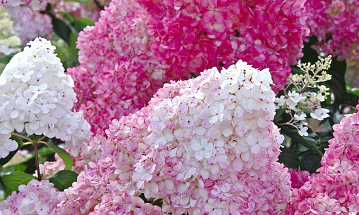 Fabelhaft 4er-Set Hortensien-Pflanzen | Groupon @GI_72