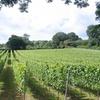 Vineyard Tour with Wine Tasting