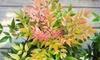 Set van Nandina domestica planten