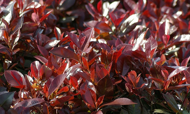 plantes photinia red robin groupon shopping. Black Bedroom Furniture Sets. Home Design Ideas