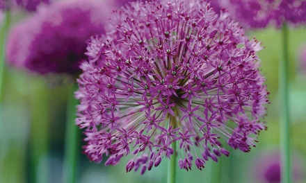 Allium 'Best Sellers Collection' Choose 100 or 200 Bulbs with Optional Bulb Planter