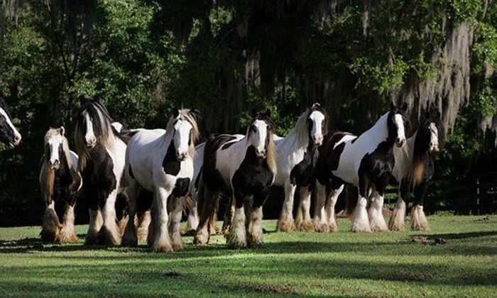 null - Ocala: Horse-Farm Walking Tour for One, Two, or Four at The Gypsy Gold Farm (Up to 48% Off)