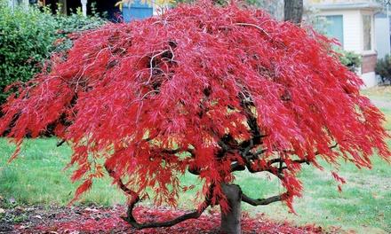 Acero palmato giapponese disponibile in 2 colori da 20 50 for Acero rosso milano