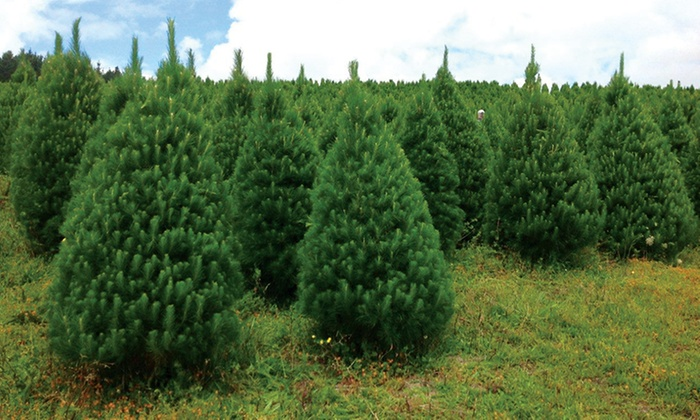 Live Christmas Tree Delivery St Nick S Xmas Trees Groupon