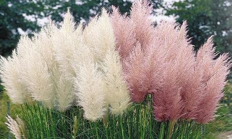 3 o 6 piante di Erba delle Pampas bianche o rosa con altezza alla consegna da 25 a 40 cm