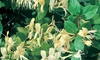 Lonicera Japonica Halliana Plant in 2L Pot