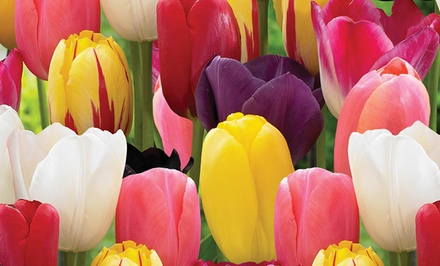 Fall Pre-order: Holland's Best Tulips 25-Bulb Pack