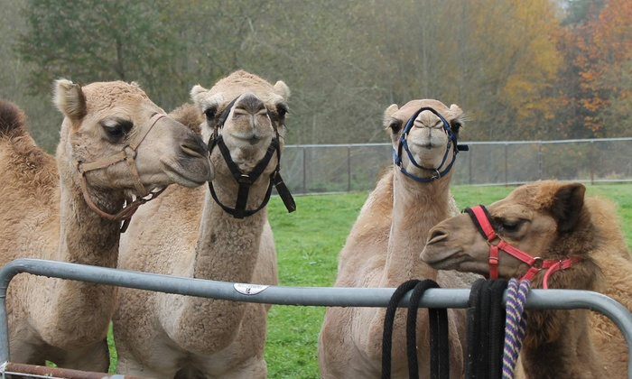 Camel Safari - Bellingham: Camel Encounter and Segway Tour for One or Two from Camel Safari (Up to 48% Off)
