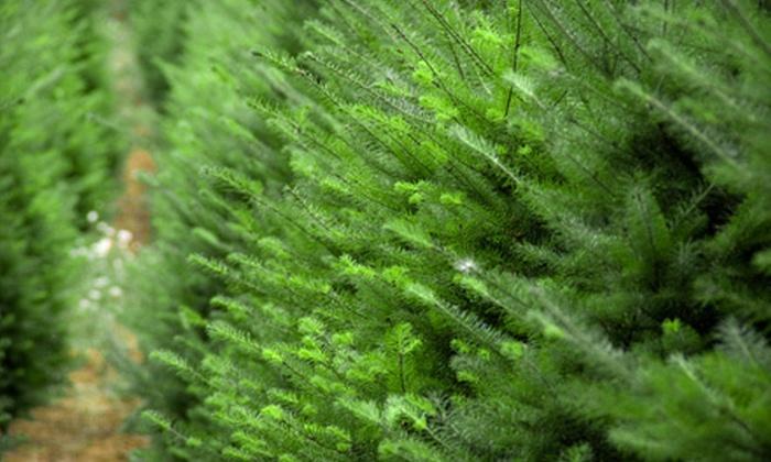 Wilson Family Christmas Trees - Carlsbad: $20 for $40 Worth of Christmas Trees at Wilson Family Christmas Trees