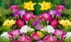 Freesia Flower Bulb (30-/60-Pk. or 150-Pack & Bulb Planter)