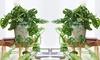 Two Monkey Mask Plants