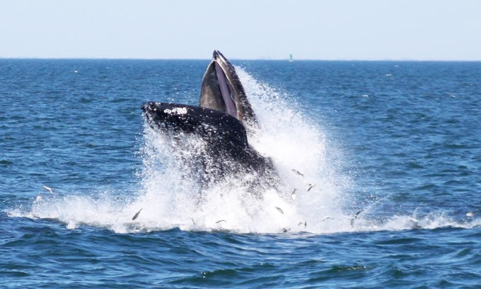 American Princess Cruises - Queens: Four-Hour Whale- and Dolphin-Watching Cruise for One, Two, or Four from American Princess Cruises (Up to 51% Off)