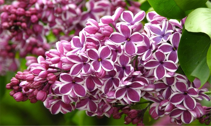 Three Fragrant Purple Lilac Trees Groupon Goods