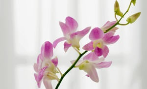 Holly Orchid Nursery: $32 for $60 Worth of Orchids from Holly Orchid Nursery