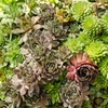 Hens and Chicks Mixed Plant Succulents (3-Pack)