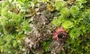 Hens and Chicks Mixed Plant Succulents (3-Pack): Hens and Chicks Mixed Plant Succulents (3-Pack)
