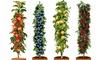 Pot-Grown Pillar Fruit Trees