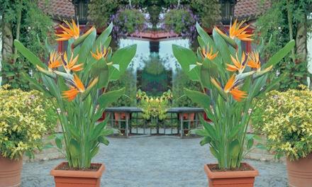 1x oder 2x Paradiesvogelblume