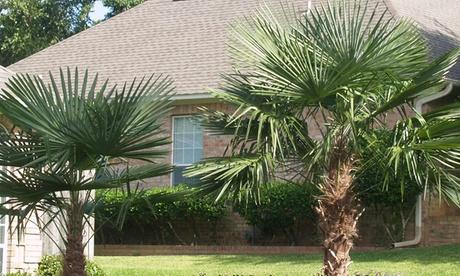 Set de 2 o 4 palmeras excelsas trachycarpus fortunei