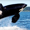 Up to 46% Off Orca Whale-Watching Tour