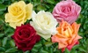 Five Hybrid Tea Rose Bushes