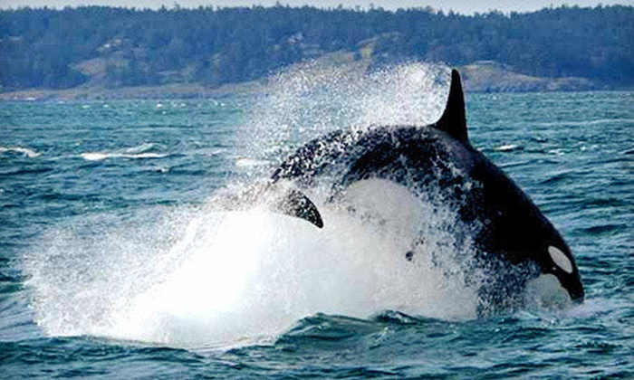 Island Mariner - Bellingham: Orca-Whale-Watching Cruise for One or Two from Island Mariner (45% Off)