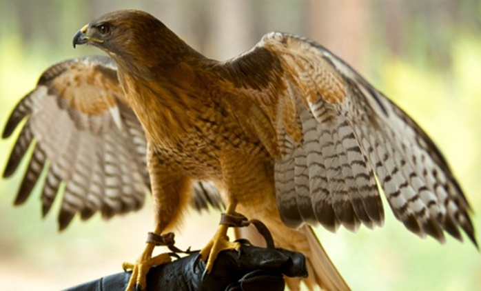 Two-Hour Falconry Show for One or Two (Up to 55% Off)