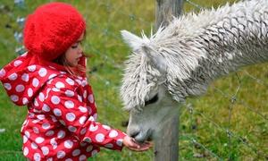 Charnwood Forest Alpacas: £35 or £70 to Spend on Courses, Walks and Adoptions at Charnwood Forest Alpacas (50% Off)