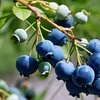 50% Off Pick-Your-Own Blueberries