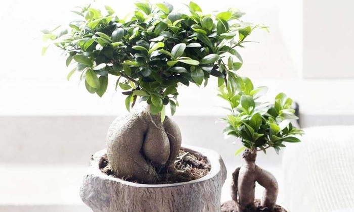 Bonsai ficus ginseng groupon goods - Bonsai ficus ginseng entretien ...