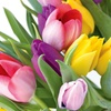 $9.99 for 33-Count Pack of Mixed Tulip Bulbs