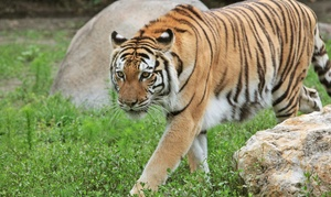 Big Cat Habitat: $35 for Visit for Four to Big Cat Habitat ($60 Value)