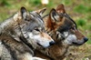 Anglian Wolf Society - Bedfordshire: Anglian Wolf Society: Half-Day Experience from £14 (Up to 68% Off)