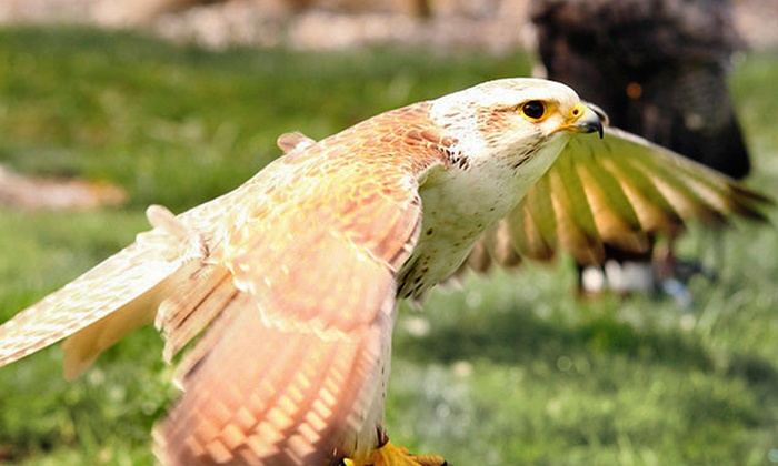 West Sussex Falconry - Church Bungalow: Half-Day Falconry Experience for One or Two at West Sussex Falconry (Up to 66% Off)