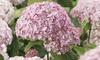 Two Hydrangea Candybelle Bubblegum Plants