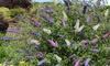 BuddlejaDavidii Tricolour Plant