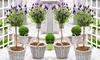 2x oder 4x Lavendel-Stämme