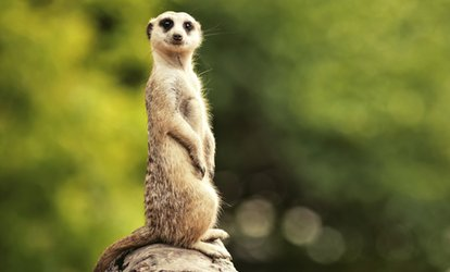 Meet a Meerkat Experience for One or Two at Hawks of Steele (Up to 65% Off)